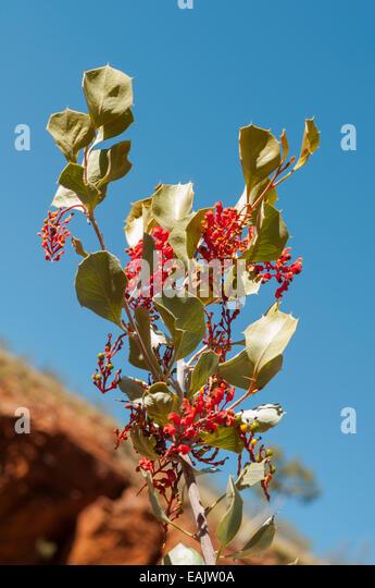 pdf photo koala and gum leaf