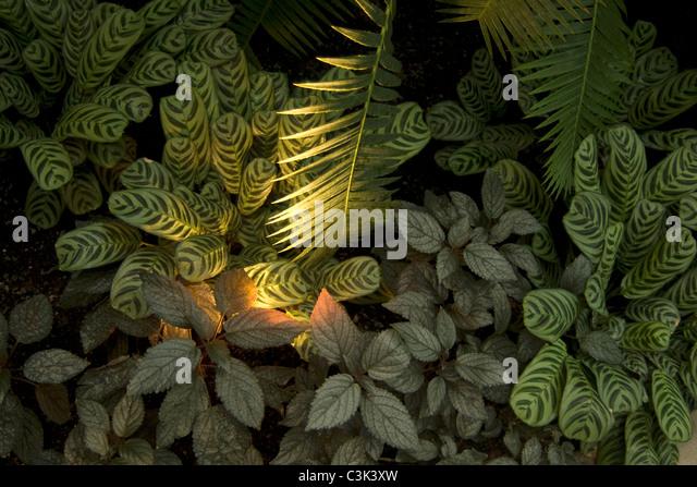 Arecaceae stock photos arecaceae stock images alamy for Prayer palm plant