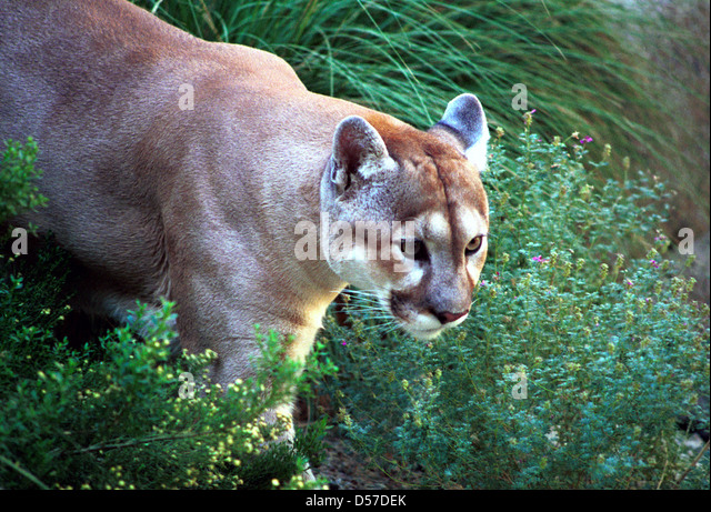 lake village cougar women July 26 (upi) --a washington state woman who spotted what she initially thought to be a dog in her yard was shocked to discover it was actually one of two cougars yvonne reppe said she was working out tuesday morning at her home in lincoln, near lake roosevelt, when she spotted something out of the .