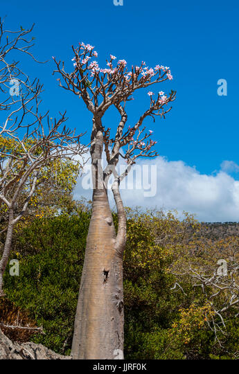 bottle trees in bloom in the dragon blood trees forest of dirhur protected area of