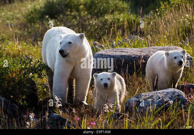 Fotos de animales de todo tipo incluyendo mascotas que más te gustan - Página 4 Polar-bear-cubs-seal-river-canada-e9p1am