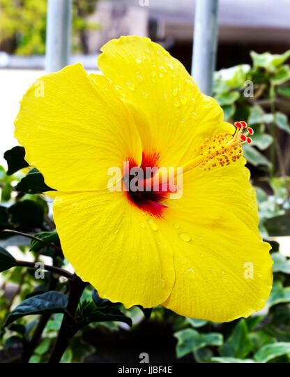 Yellow hibiscus red center stock photos yellow hibiscus red center a single yellow hibiscus flower with red center and stamen stock image mightylinksfo
