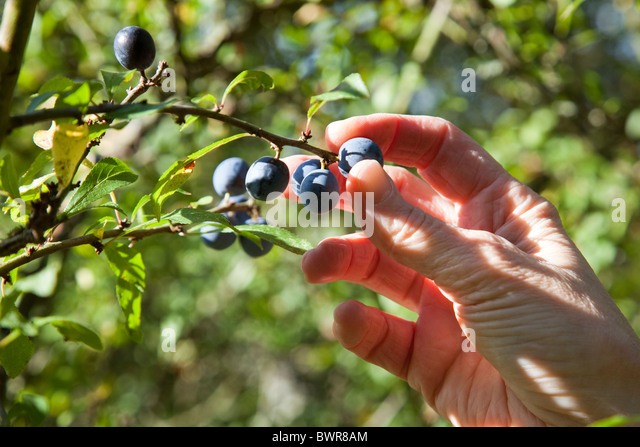 how to make sloe gin from dried sloes
