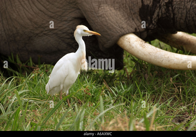 egret and water buffalo relationship