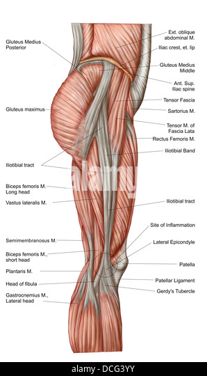 thigh muscles stock photos & thigh muscles stock images - alamy, Human body