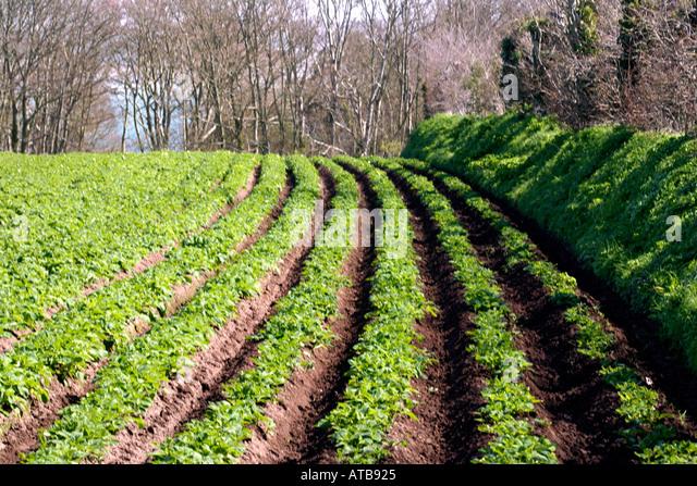Jersey Royal Potato Field Jersey Channel Islands Uk Stock Image