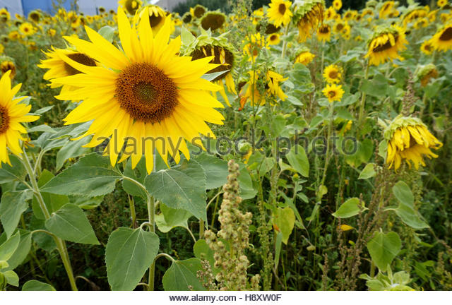 sunflower field picture blooming - photo #49