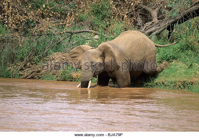 African Elephant Kneeling Loxodonta Stock Photos & African