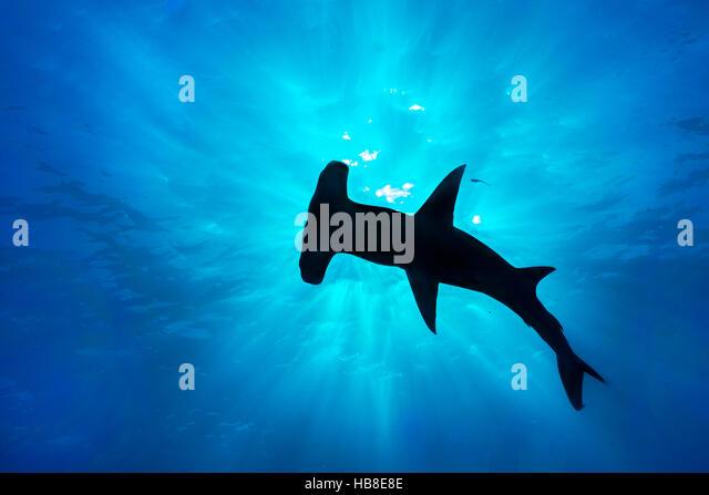 great hammerhead sphyrna mokarran silhouette at surface bimini bahamas stock