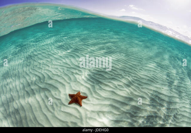 Red Cushion Starfish in Lagoon, Oreaster reticulatus, Turneffe Atoll, Caribbean, Belize - Stock Image