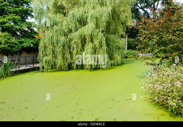 Lemnoideae stock photos lemnoideae stock images alamy for Garden pool duckweed