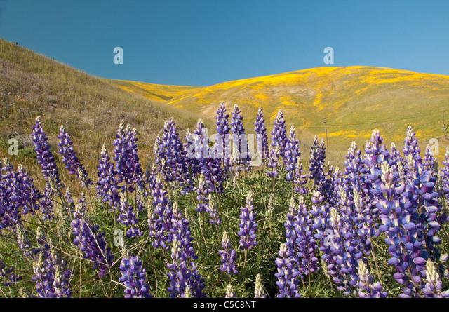 Gorman (CA) United States  city photos gallery : California Spring Wildflower Bloom; Gorman, California, United States ...