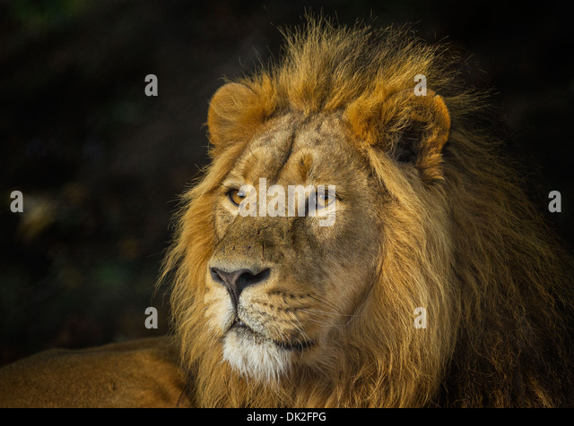 King Jungle Male Lion Zoo Stock Photos & King Jungle Male