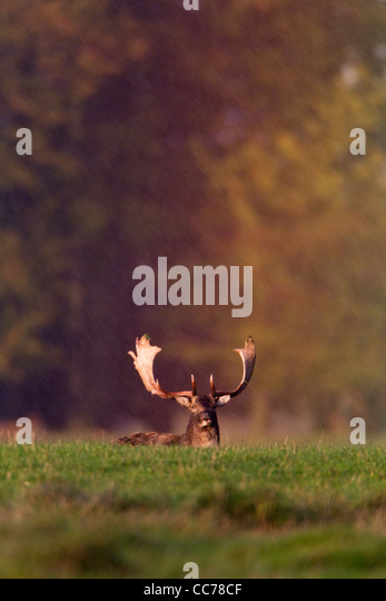 Fallow Deer Dama Resting In Rain Shower Caught Rainbow Colour