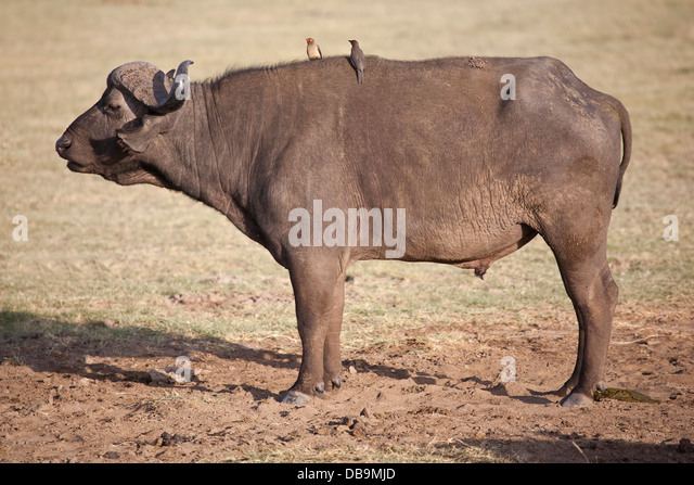 asian singles in bison Bison: either of two species of oxlike grazing mammals that constitute the  the  cow usually gives birth to a single calf in may after about nine months' gestation   suggested that the first bison in north america migrated from asia across the.
