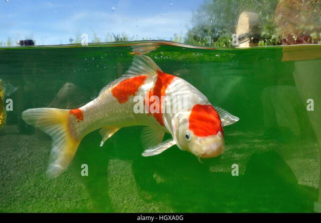 Colored carp stock photos colored carp stock images alamy for Koi holding pool