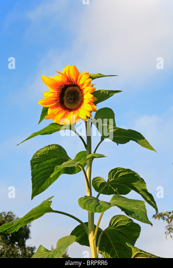 Tall Sunflower Stock Photos & Tall Sunflower Stock Images - Alamy