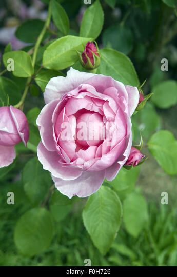 violette rose stock photos violette rose stock images alamy. Black Bedroom Furniture Sets. Home Design Ideas