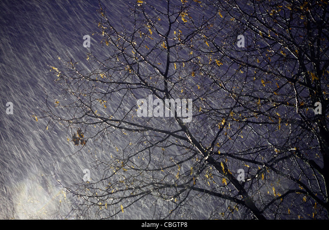 Windy Trees In A Storm