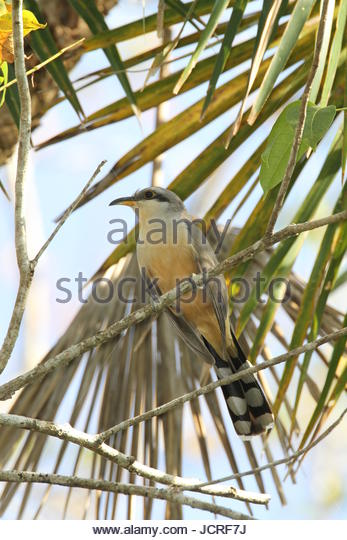 A mangrove cuckoo, Coccyzus minor, perching on a tree branch. - Stock Image
