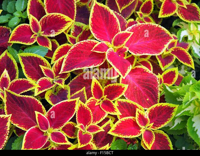 red coleus stock photos  red coleus stock images  alamy, Beautiful flower