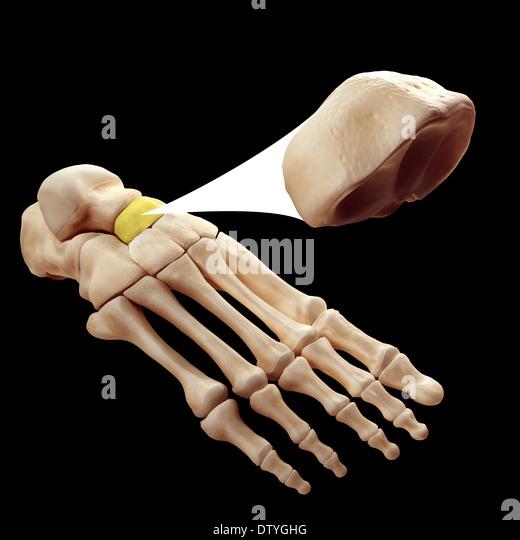 navicular bone stock photos & navicular bone stock images - alamy, Human Body