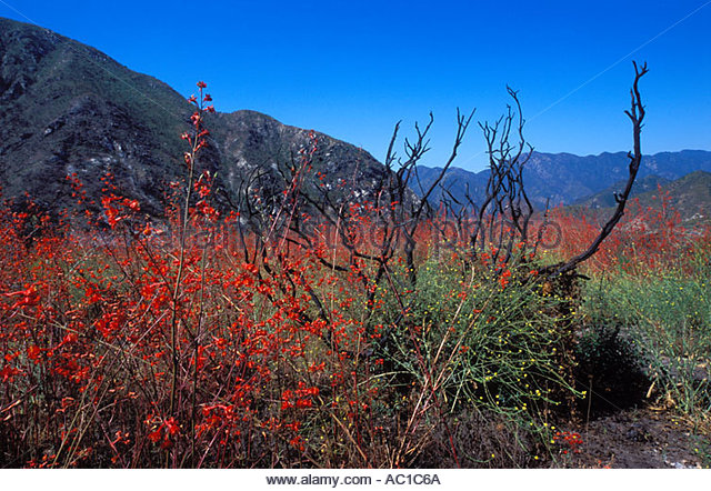Delphinium cardinale | Wildflowers in Santa Barbara