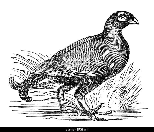 Grouse Cut Out Stock Images Pictures Alamy
