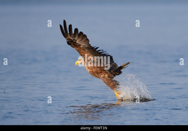 golden eagle fishing oder delta stock photos oder delta stock images alamy