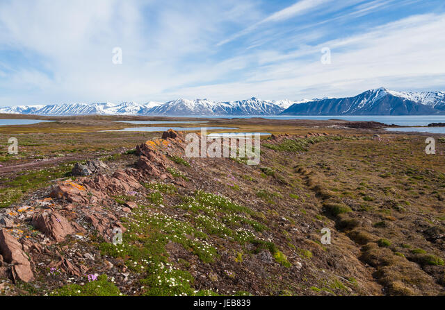 A ridge of tilted rock and curves round into a bay near Makeøyane in Spitzbergen. Cushions of small wildflowers - Stock Image