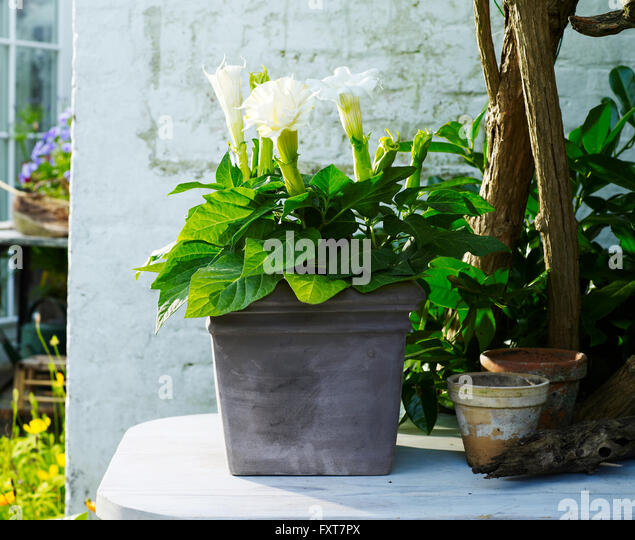 arum lily pot stock photos arum lily pot stock images. Black Bedroom Furniture Sets. Home Design Ideas