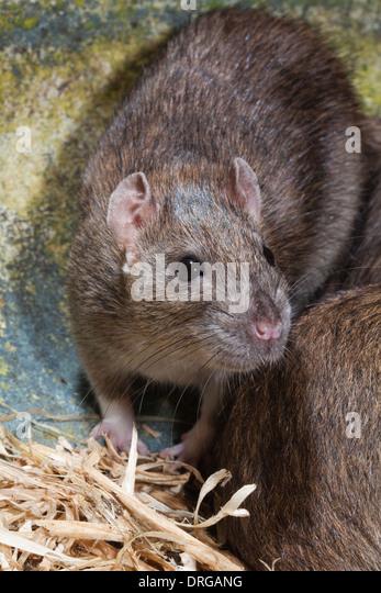 Rat Head Stock Photos Amp Rat Head Stock Images Alamy