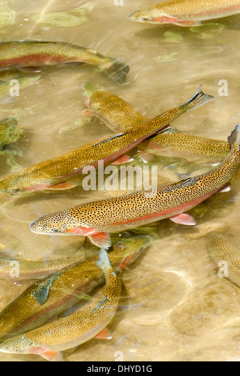Trout Hatchery Stock Photos Trout Hatchery Stock Images