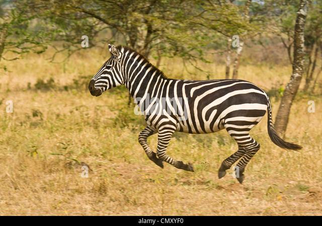 zebra running - photo #25