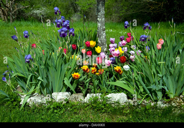French Tulips Stock Photos French Tulips Stock Images Alamy