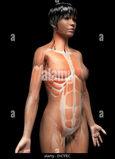 female muscles computer artwork stock photos & female muscles, Muscles