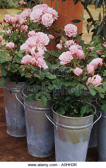 Patio Roses Planted In Aluminium Buckets   Stock Image