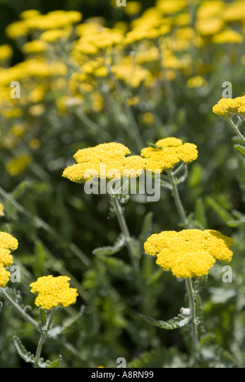 yarrow yellow stock photos yarrow yellow stock images. Black Bedroom Furniture Sets. Home Design Ideas