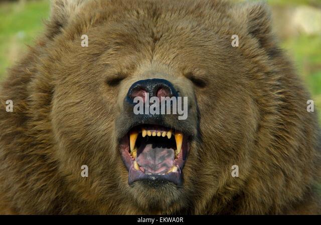 Vicious Bear Stock Photos & Vicious Bear Stock Images - Alamy