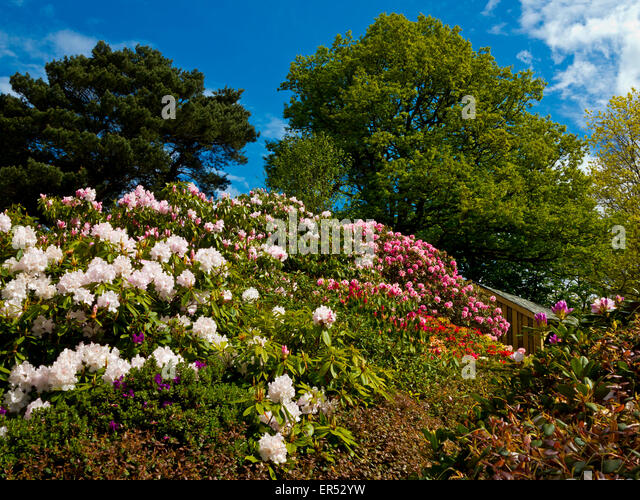 Gorgeous Rhododendrons Garden Uk Stock Photos  Rhododendrons Garden Uk  With Lovable Rhododendrons In Spring At Lea Gardens A Popular Tourist Attraction Near  Matlock Derbyshire Dales Peak District With Adorable Arches For Gardens Also Extra Large Garden Sheds In Addition Closest Garden Center And Garden Centre Lake District As Well As Transform Your Garden Additionally Victorian Kitchen Garden From Alamycom With   Lovable Rhododendrons Garden Uk Stock Photos  Rhododendrons Garden Uk  With Adorable Rhododendrons In Spring At Lea Gardens A Popular Tourist Attraction Near  Matlock Derbyshire Dales Peak District And Gorgeous Arches For Gardens Also Extra Large Garden Sheds In Addition Closest Garden Center From Alamycom
