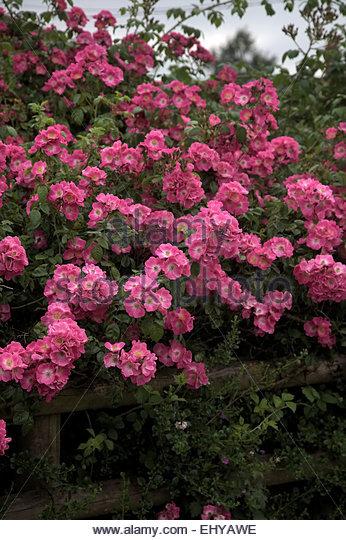 pink vine summer stock photos  u0026 pink vine summer stock