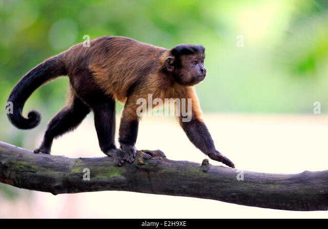 brown tufted capuchin This study examined whether deceptive alarm calling among wild tufted capuchin monkeys, cebus apella nigritus, feeding on contestable food resources can be temperature results in low availability of the predominant resources exploited by capuchins (fruits and invertebrates) during the austral winter (brown & zunino,.