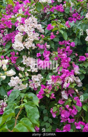 Tropische kletterpflanze