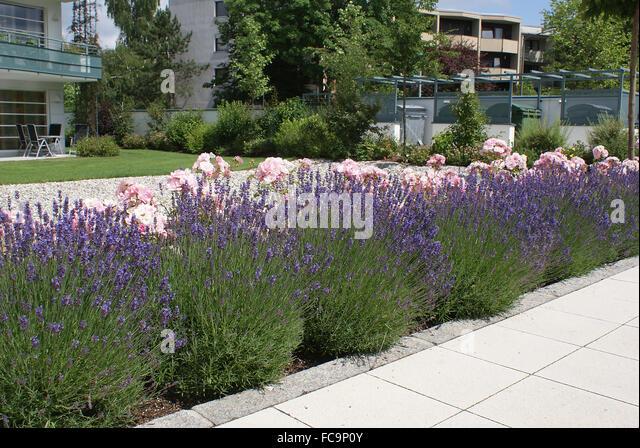 Image Gallery Lavender Hedge