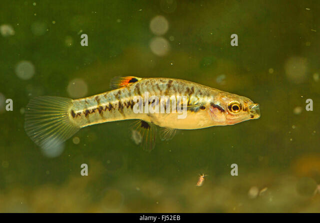 least killifish (Heterandria formosa), female - Stock Image