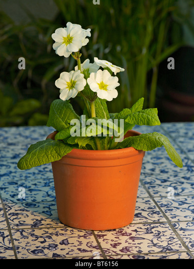 Sweet Primulas In Pot Stock Photos  Primulas In Pot Stock Images  Alamy With Gorgeous Flowering Potted Primula Polyanthus Group In A Garden Conservatory  Stock  Image With Astonishing Maintain Garden Also Kyoto Gardens Holland Park In Addition Holland Park Garden And Garden Fence Panels Birmingham As Well As Garden Log Additionally Secret Garden Korean Drama Cast From Alamycom With   Gorgeous Primulas In Pot Stock Photos  Primulas In Pot Stock Images  Alamy With Astonishing Flowering Potted Primula Polyanthus Group In A Garden Conservatory  Stock  Image And Sweet Maintain Garden Also Kyoto Gardens Holland Park In Addition Holland Park Garden From Alamycom