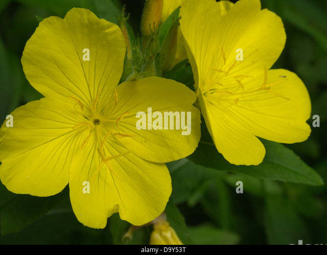 Yellow flower 4 petals images flower decoration ideas yellow flower 4 petals images flower decoration ideas yellow flower 4 petals gallery flower decoration ideas mightylinksfo Choice Image
