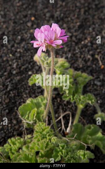 Rose Scented Geranium Stock Photos Amp Rose Scented Geranium