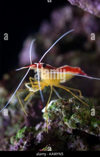 Brine Shrimp Stock Photos & Brine Shrimp Stock Images - Alamy