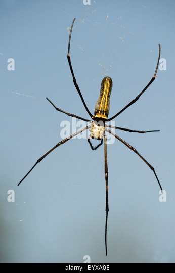 Esstisch Spider Wood ~ Pilipes Stock Photos & Pilipes Stock Images  Alamy